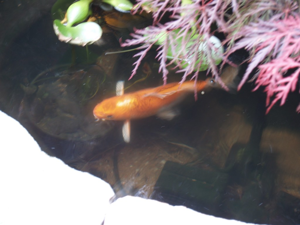 Fish in our pond