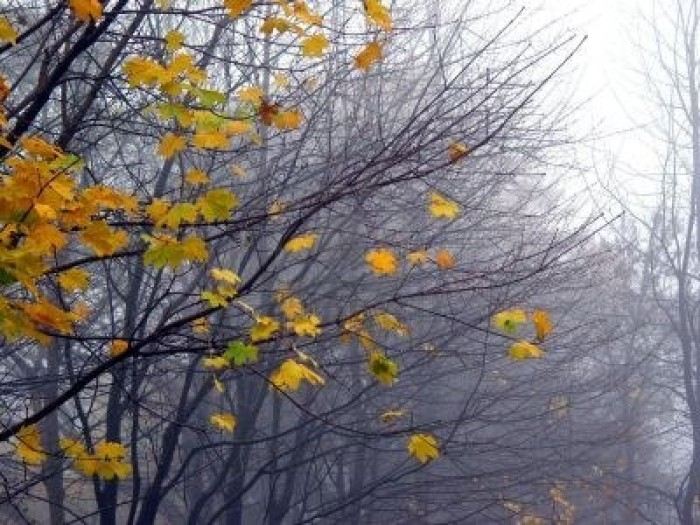 366706-last-leaves-on-the-maple-tree-branches-on-a-rainy-foggy-late-fall-day