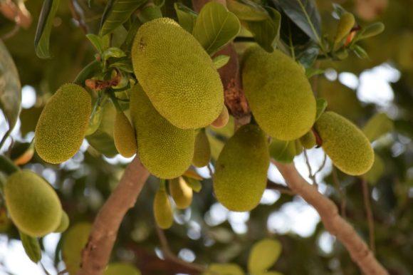 recept met jackfruit