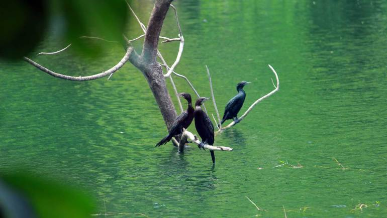 Thattekkad Bird sanctuary - Dr Salim Ali Bird Sanctuary_little black cormorants