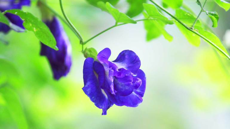 Asian Pigeonwings-Clitoria Ternatea-Sanghu-Pushpam-Flowers of Kerala