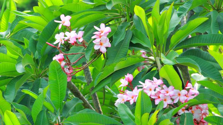 Plumeria Flowers - Dutch Cemetery, Fort Kochi
