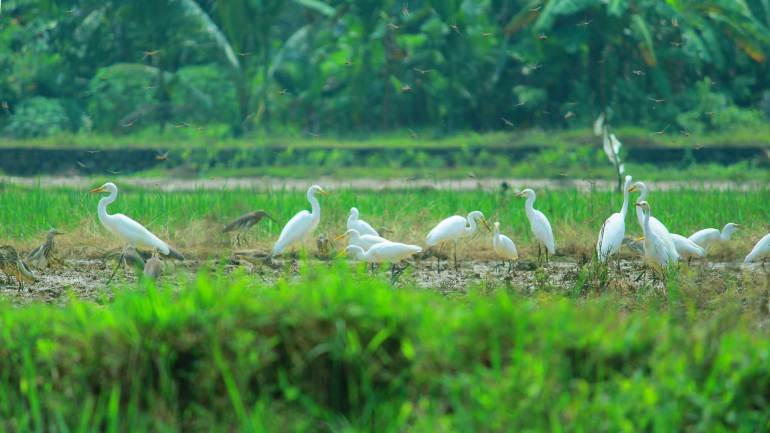 Indian Storks and Dragonflies-Adat Kole Wetland and Paddy Fields