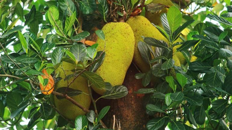 Jack Fruit - Varikka Chakka
