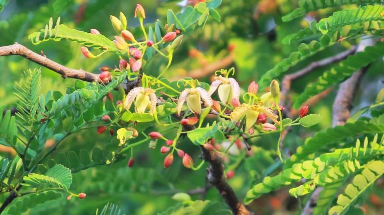 Tamarind Flowers_Kerala_01