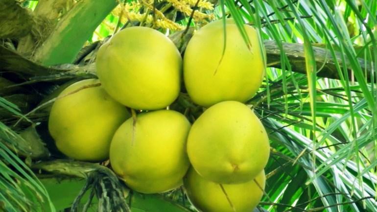 Tender Coconuts