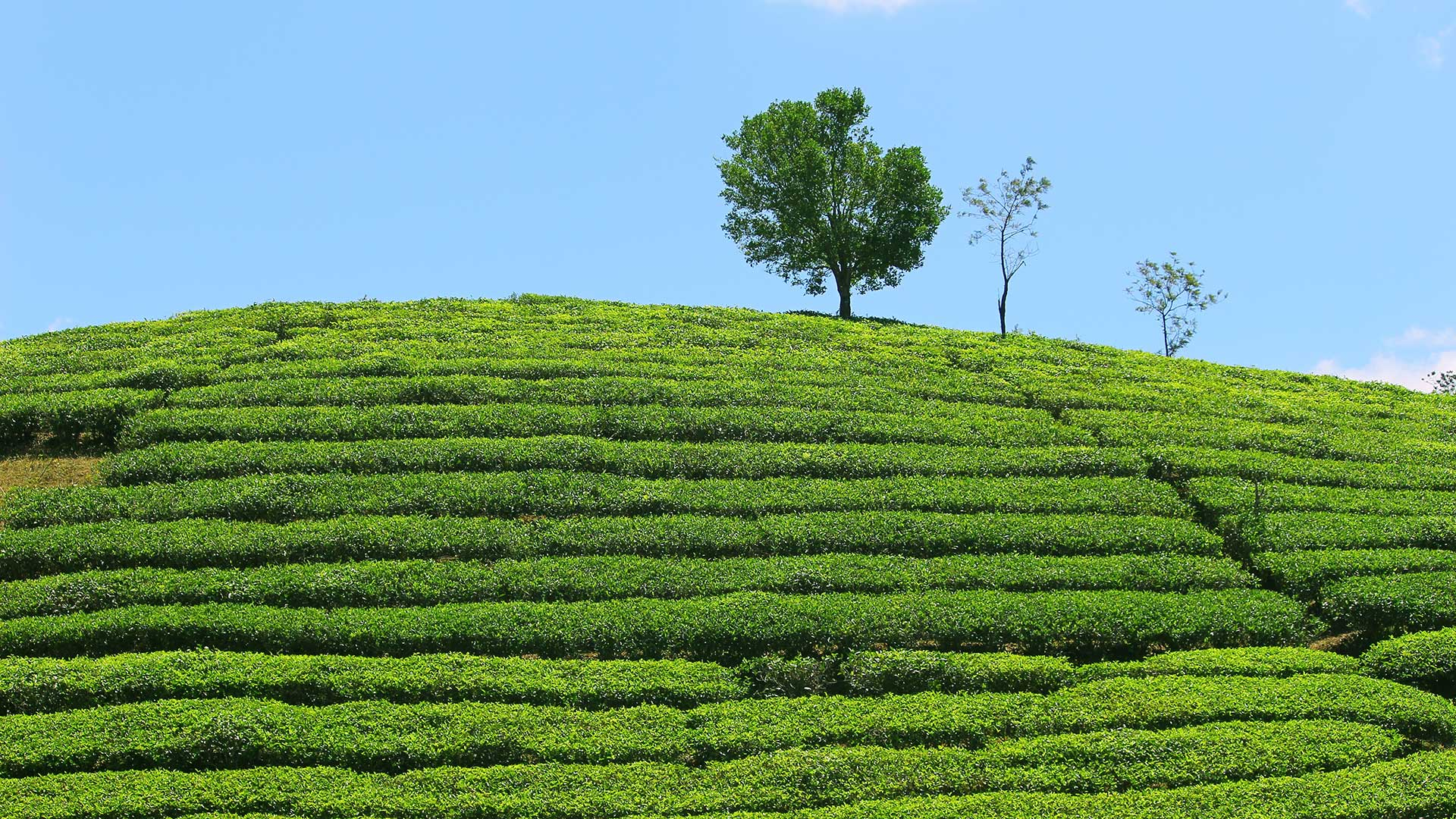 Vagamon-Tea-Estate