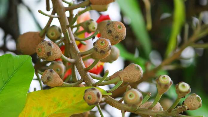 Cannonball-Tree-Seeds