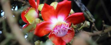 Pink-and-Dark-Red-Flower-of-Cannonball-Tree-knows-as-Nagalinga-Pushpa, Cannonball Tree