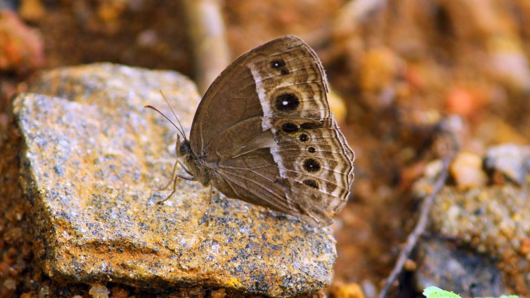 Dark-Branded-Bushbrown-Butterfly-(Mycalesis-Mineus)-Butterfly-Kerala, butterflies kerala
