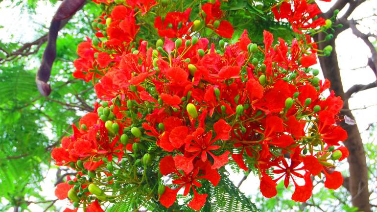 Delonix-regia-flower-near-the-village-outside-the-city-of-Hargeisa-Somaliland