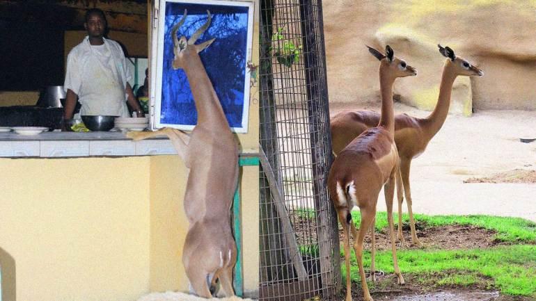 Gerenuk-deer-in-a-restaurant-near-Hargeisa-City-Somaliland