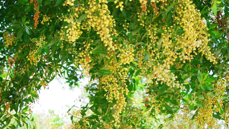Green-acacia-tree-with-full-of-flowers-in-Hargeisa-Somaliland, Somaliland Fauna Flora