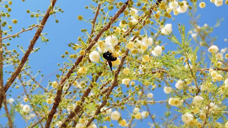 Honey-drinking-beetle-on-the-acacia-flower,-Hargeisa-Somaliland