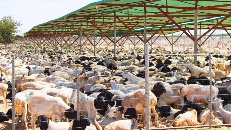 Livestock-farm-at-Berbera-Somali-land