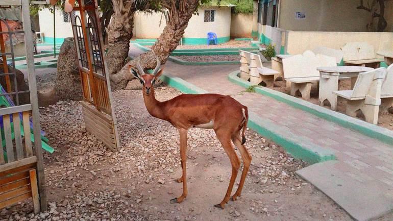 One-of-the-gerenuk-deer-living-in-a-restaurant,-Hergeisa-Somaliland