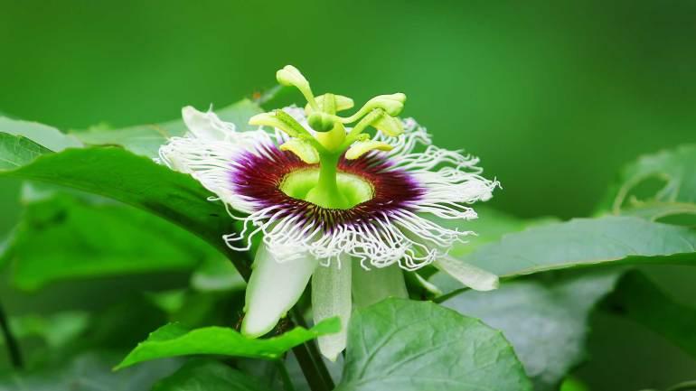 Passion-fruit-Granadilla-Krishna-Phal-Flower, Granadilla, Krishna Phal, Passion Fruit