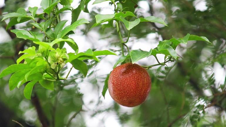 Passion-fruit-Granadilla-Krishna-Phal-Red-Fruit