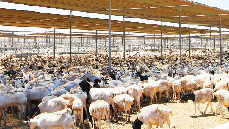 Somali-sheep-in-a-livestock-farm-at-Berbera-Somaliland, Somaliland Livestock