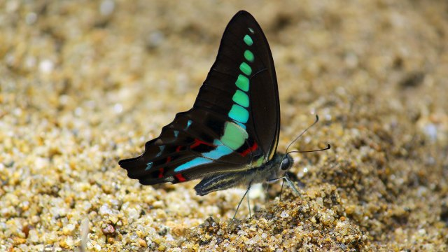 Southern-Bluebottle-(Graphium-Teredon)-Ventral-view-List-of-Butterflies-of-Kerala-Butterfly-Kerala