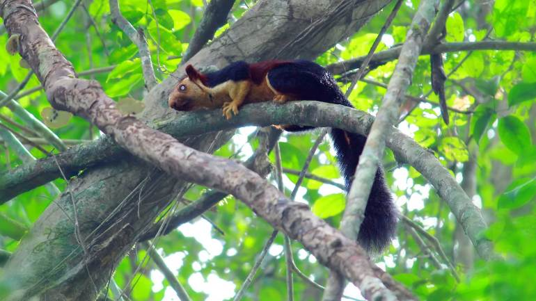 Indian-Giant-Squirrel-or-Malabar-Giant-Squirrel-at-Bhoothathankettu-Forest