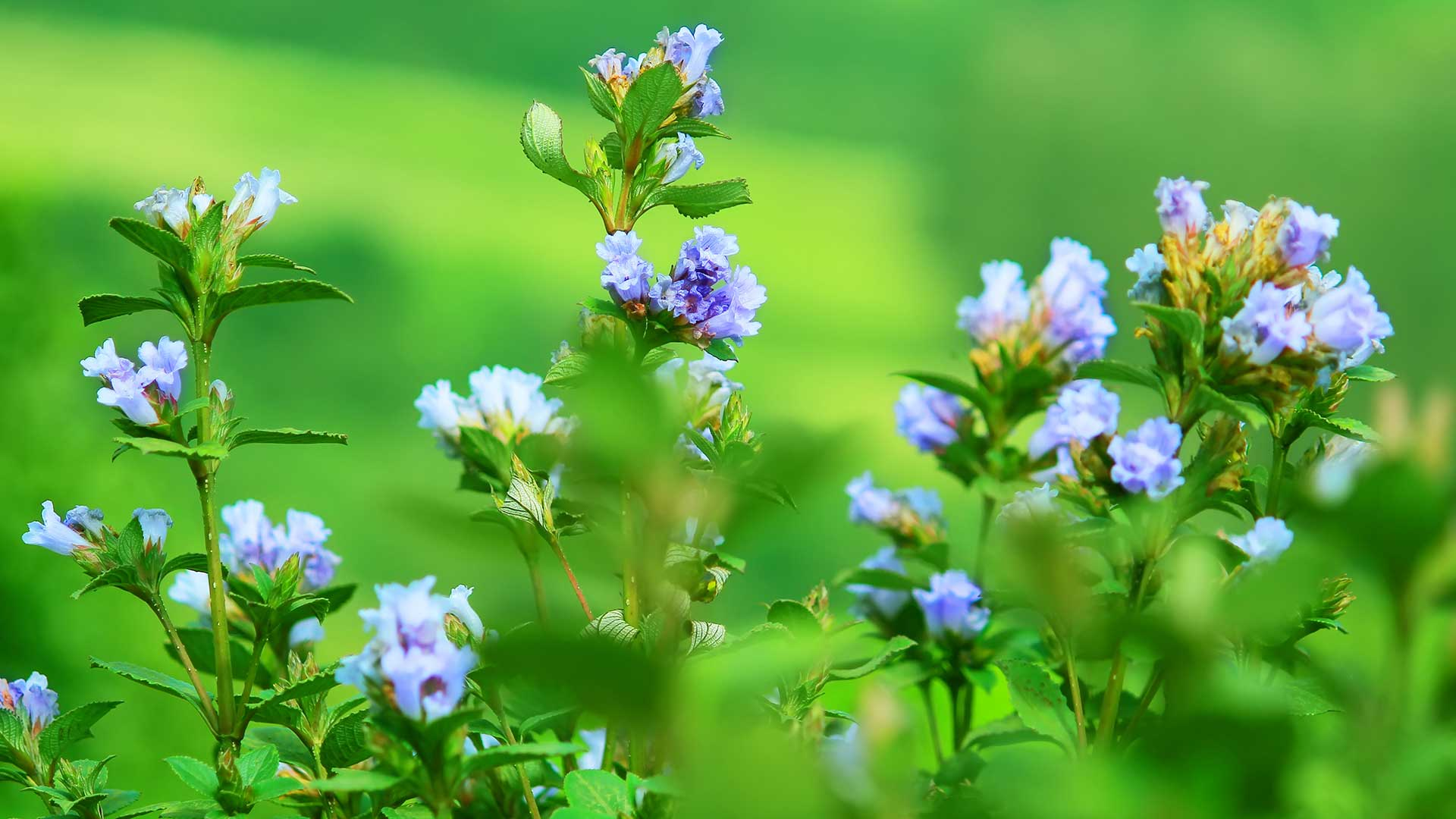 Neelakurinji-Shrub-and-Flowers-at-Eravikulam National Park-Munnar