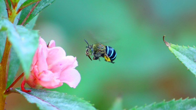 Blue Banded Bee, Amegilla Cingulata, Insects of Kerala, insects, Bee, Blue Bee, Honey Bee