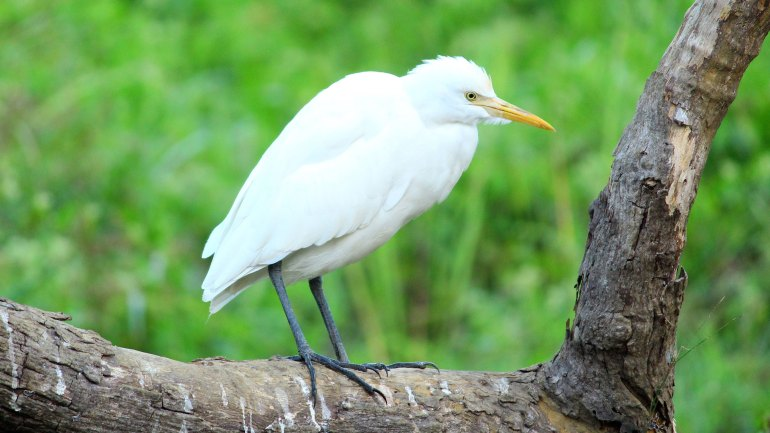 Cattle Egret (Vellakkotti), Thattekkad Birds, Birds of South India, Birds of Kerala, Kerala Birds, Birds of Thattekkad, South India Birding, Thattekkadu, Thattekkad Bird Sanctury