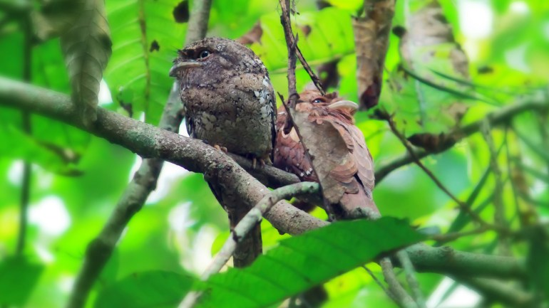 Ceylon Frogmouth (Makkachikkada), Thattekkad Birds, Birds of South India, Birds of Kerala, Kerala Birds, Birds of Thattekkad, South India Birding, Thattekkadu, Thattekkad Bird Sanctury