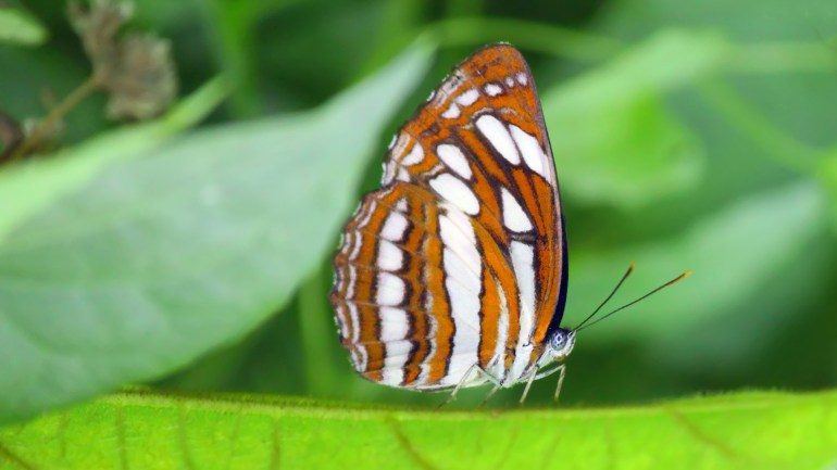 Common Sergeant, Athyma Perius, Butterflies of Kerala, Butterfly Photos, Butterfly HD Photos