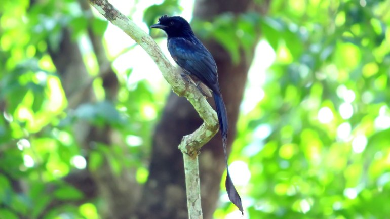 Greater Racket Tailed Drongo, Thattekkad Birds, Birds of South India, Birds of Kerala, Kerala Birds, Birds of Thattekkad, South India Birding, Thattekkadu, Thattekkad Bird Sanctury