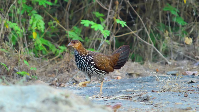 Grey Junglefowl - Female (Kattukozhi), Thattekkad Birds, Birds of South India, Birds of Kerala, Kerala Birds, Birds of Thattekkad, South India Birding, Thattekkadu, Thattekkad Bird Sanctury