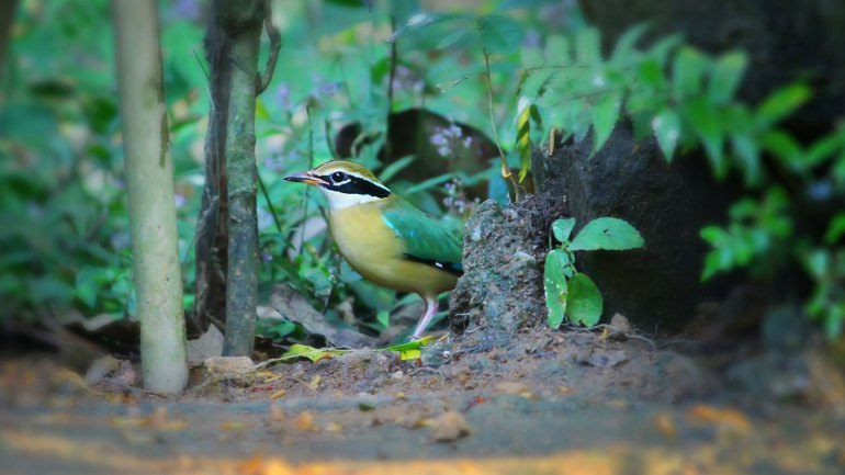 Indian Pitta, Thattekkad Birds, Birds of South India, Birds of Kerala, Kerala Birds, Birds of Thattekkad, South India Birding, Thattekkadu, Thattekkad Bird Sanctury