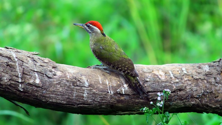 Streak Throated Woodpecker, Thattekkad Birds, Birds of South India, Birds of Kerala, Kerala Birds, Birds of Thattekkad, South India Birding, Thattekkadu, Thattekkad Bird Sanctury