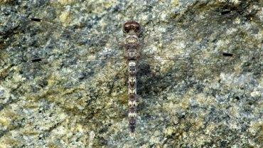 Mathil Thumpi, Granite Ghost, Bradinopyga Geminata, Dragonflies List, Dragonflies India, Dragonflies Kerala