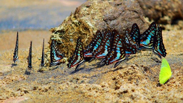 Mud Puddling Butterflies, Puddling, Butterflies
