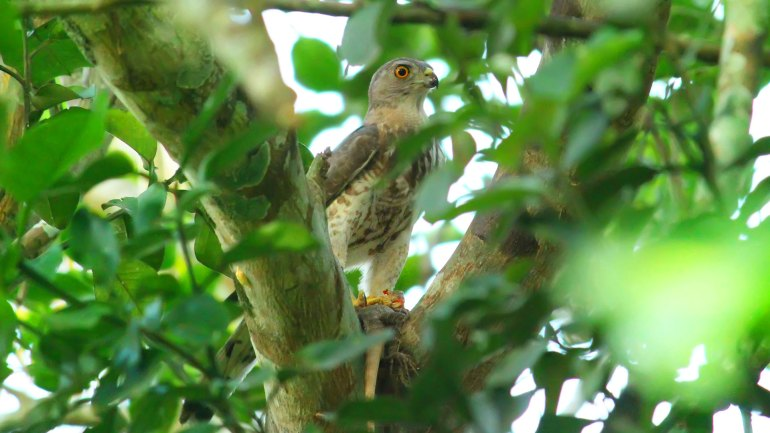 Shikra, Accipiter Badius, Birds of Kerala, Indian Birds, Kerala Birds, Pullu