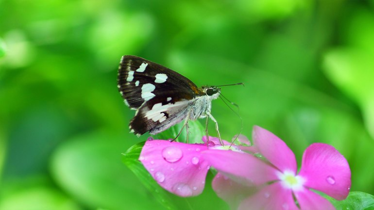 Grass Demon butterfly, Udaspes folus, Butterflies Kerala, Butterfly Photos, Butterfly HD Photos, Kerala Butterflies Photos, Butterfly Malayalam Name, Kerala Butterfly Name