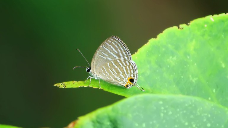Pale Four Line blue, Nacaduba Hermus, Butterflies Kerala, Butterfly Photos, Butterfly HD Photos, Kerala Butterflies Photos, Butterfly Malayalam Name, Kerala Butterfly Name