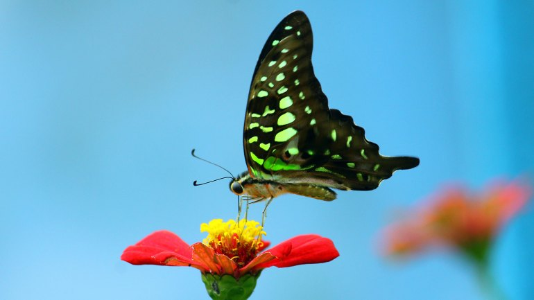 Tailed Jay Graphium, Agamemnon Butterflies, Kerala, Butterfly Photos, Butterfly HD Photos, Kerala Butterflies Photos, Butterfly Malayalam Name, Kerala Butterfly Name