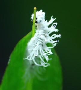 Caterpillar to Butterfly, White Caterpillar, Fluffy Caterpillar, Soft Caterpillar, Giant Red Eye Insect, butterfly Caterpillar, butterfly Caterpillar, Cute butterfly Caterpillar, Cute Caterpillar