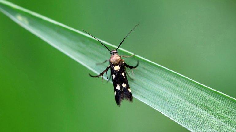 Eretmocera Impactella, Insects of Kerala, Kerala Insects, Insects Kerala