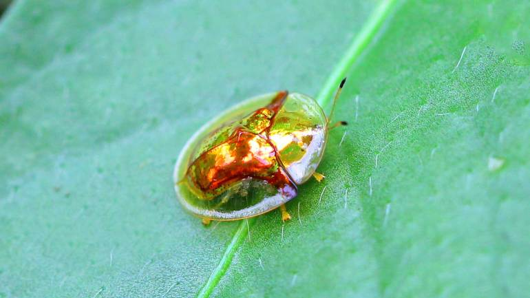 Tortoise Beetle, Tortoise Insect, Golden Insect, Golden Tortoise Beetle, Insects of Kerala, Kerala Insects, Insects Kerala