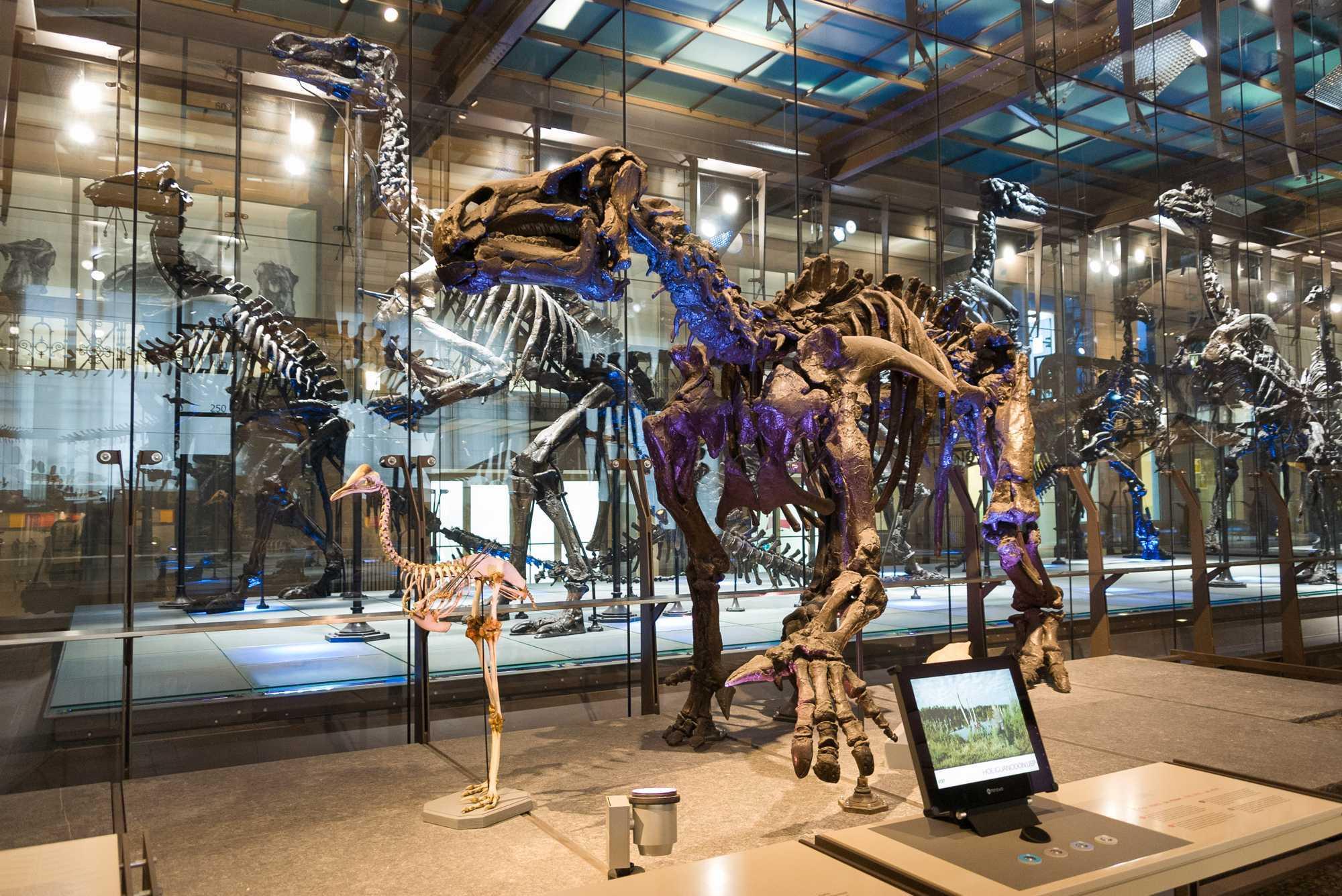 Een Iguanodon skelet in het museum