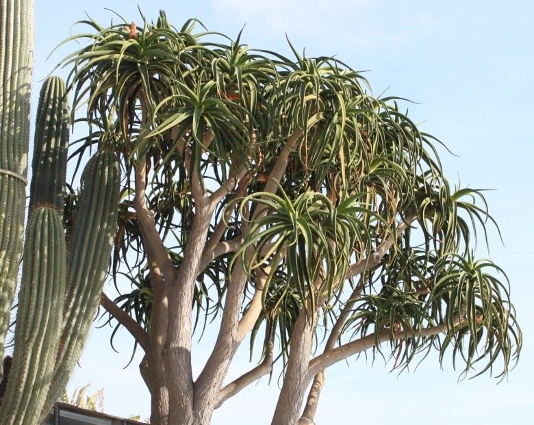 Taman Rumah Minimalis Pohon Aloe