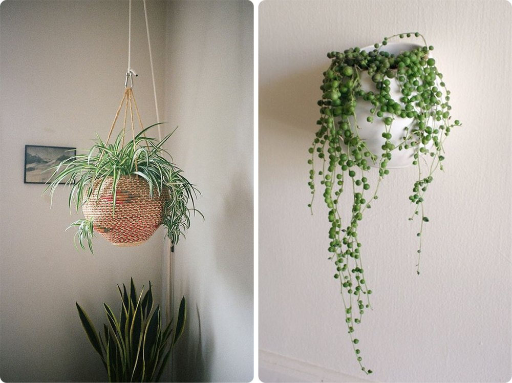 Taman Rumah Minimalis Spider Plant