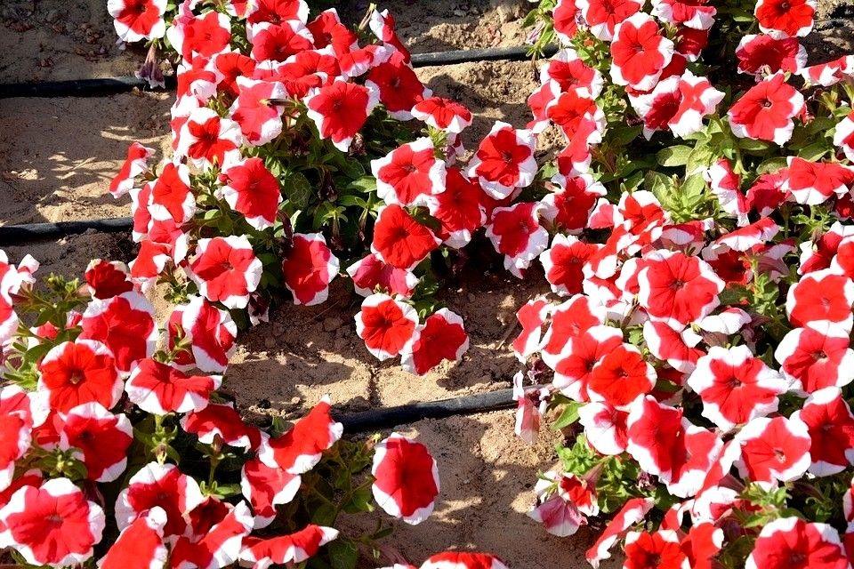 Tanaman Hias Gantung Petunia Red Picotee