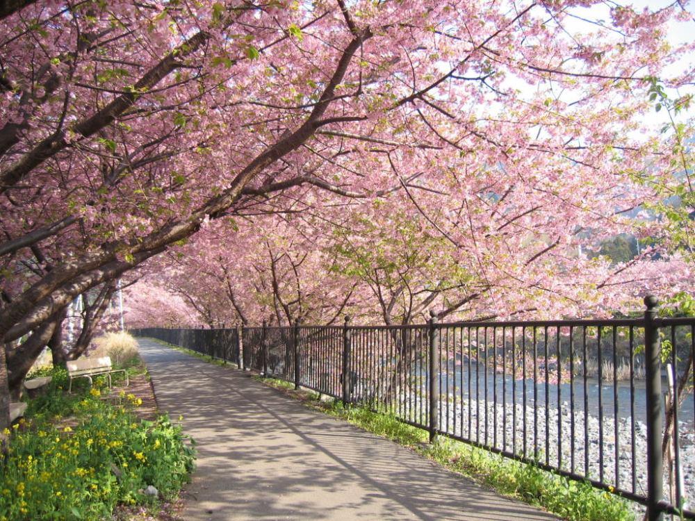 5 Fakta Menarik Pohon Sakura Pohon Khas Negara Jepang