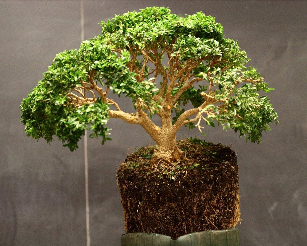 Bonsai Buxus