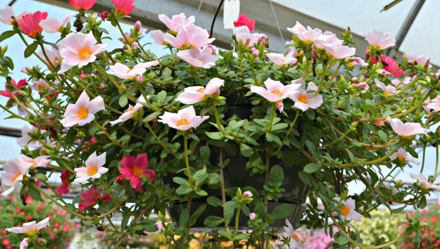 Jenis Tanaman Hias Gantung Bunga Portulaca
